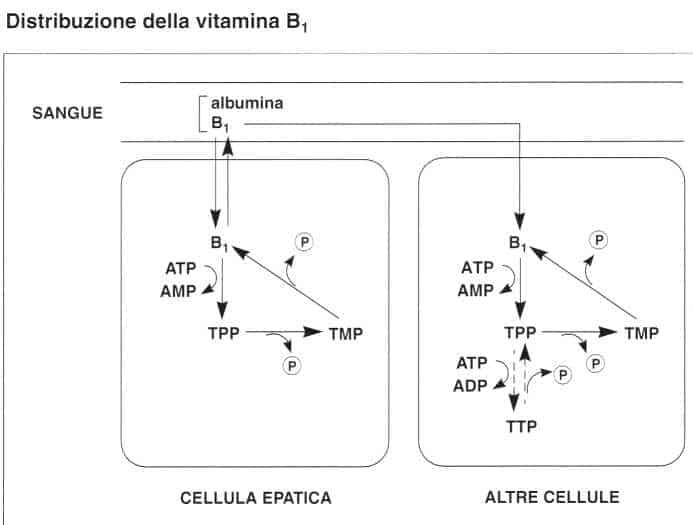 Vitamina B1 o Tiamina: distribuzione