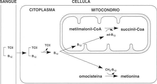 Vitamina B12 o Cobalamina: distribuzione