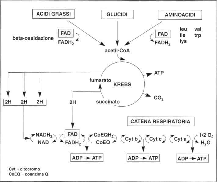 Vitamina B2 o Riboflavina: ciclo di Krebs