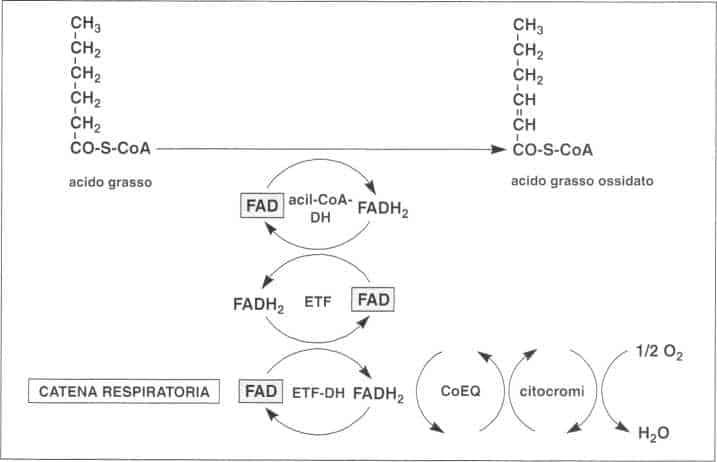 Vitamina B2 o Riboflavina: ossidazione acidi grassi