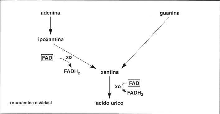 Vitamina B2 o Riboflavina: formazione acido urico