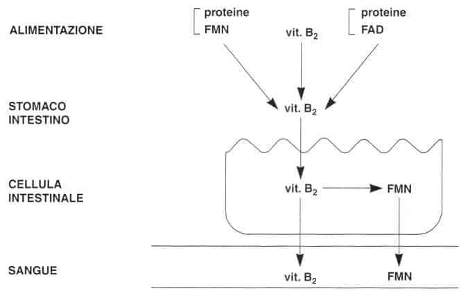 Vitamina B2 o Riboflavina: assorbimento