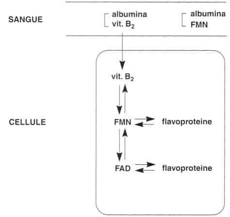 Vitamina B2 o Riboflavina: distribuzione