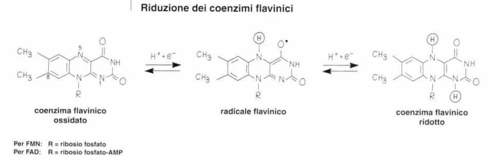 Vitamina B2 o Riboflavina: riduzione dei coenzimi flavinici