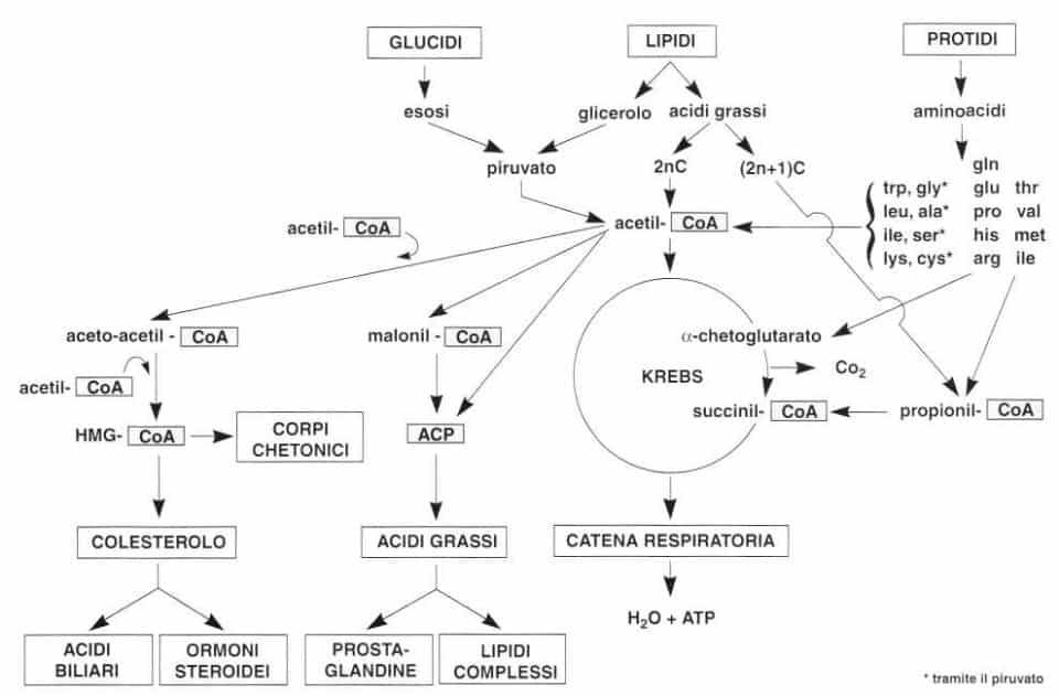 Vitamina B5 o Acido Pantotenico: ciclo di Krebs