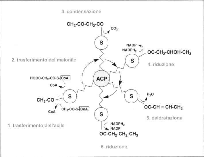 Vitamina B5 o Acido Pantotenico: reazione 14