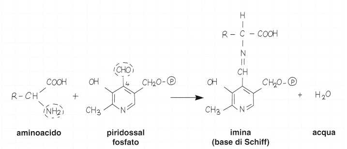 Vitamina B6 o Piridossina: meccanismo di azione 2