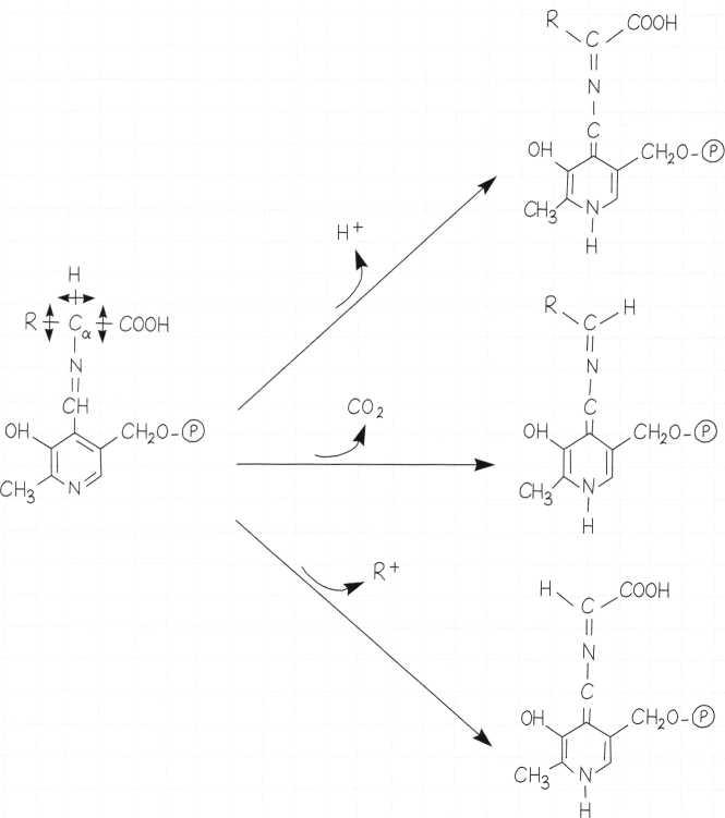 Vitamina B6 o Piridossina: meccanismo di azione 3