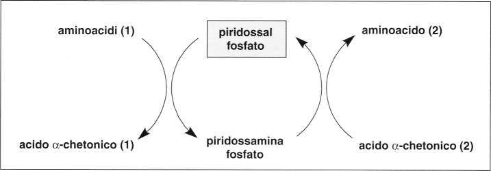 Vitamina B6 o Piridossina: reazione 14