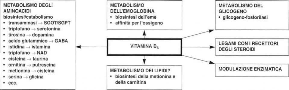 Vitamina B6 o Piridossina: vie metaboliche