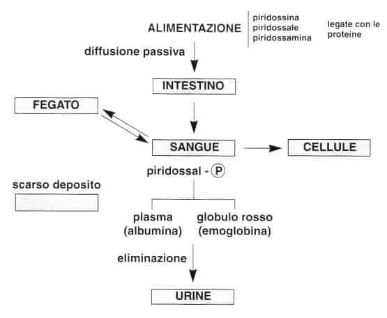 Vitamina B6 o Piridossina: metabolismo