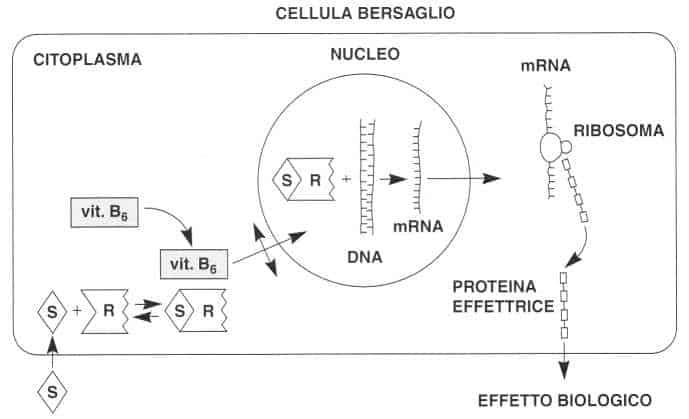 Vitamina B6 o Piridossina: ormoni steroidei