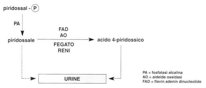 Vitamina B6 o Piridossina: reazione 9