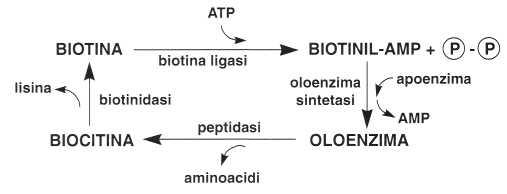 Vitamina B8 o Biotina: metabolismo cellulare