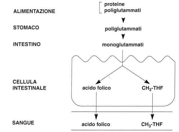 Vitamina B9 o Acido Folico: assorbimento