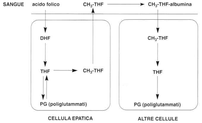 Vitamina B9 o Acido Folico: distribuzione