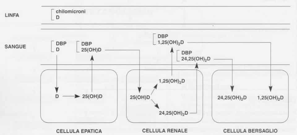 Vitamina D (Calciferolo): distribuzione