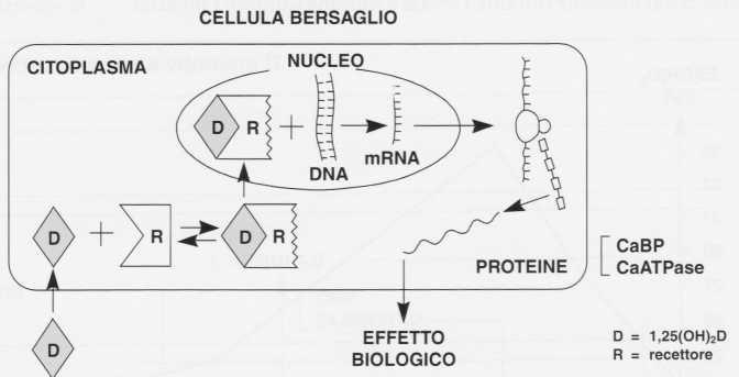 Vitamina D (Calciferolo): azione ormonale