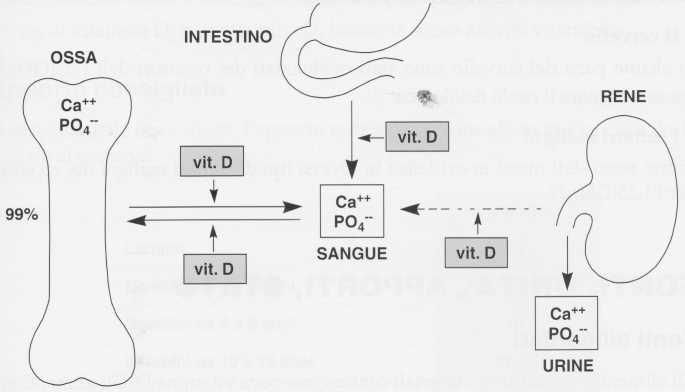 Vitamina D (Calciferolo): omeostasi fosfo-calcica