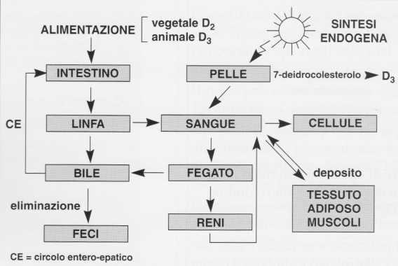 Vitamina D (Calciferolo): metabolismo