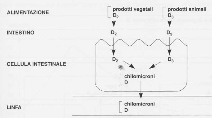 Vitamina D (Calciferolo): assorbimento