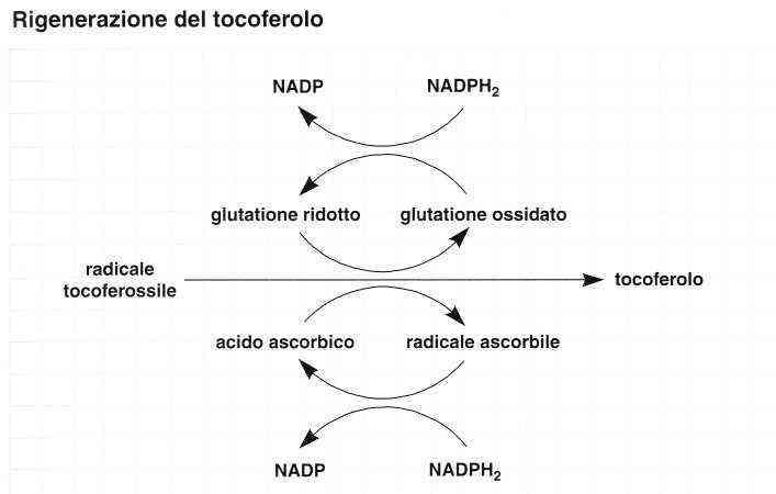 Vitamina E (Tocoferolo): reazione 15