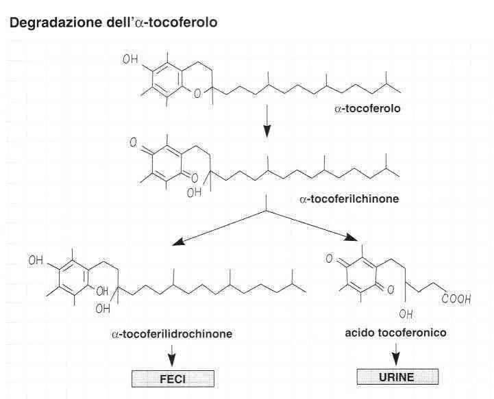 Vitamina E (Tocoferolo): Degradazione
