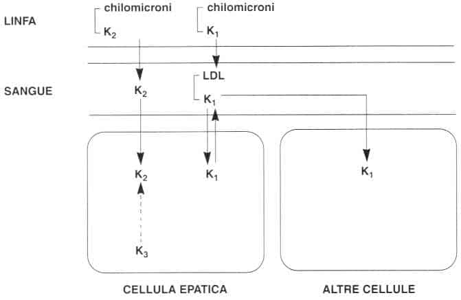Vitamina K (Fillochinone): distribuzione