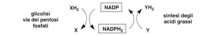 Vitamina PP (Niacina): reazione 15