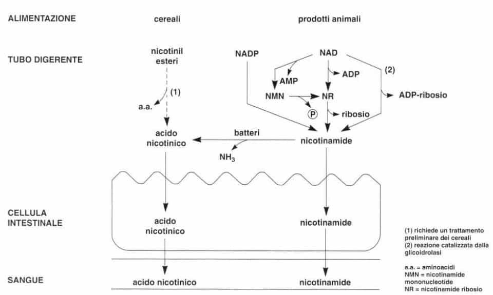Vitamina PP (Niacina): assorbimento