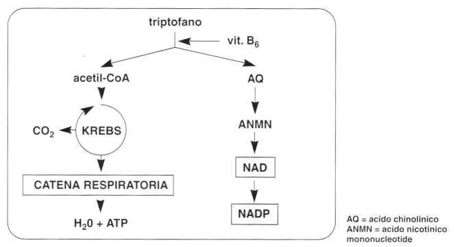 Vitamina PP (Niacina): metabolismo del triptofano