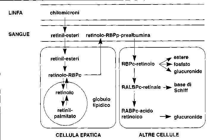 Distribuzione di vitamina A, retinolo e beta-carotene