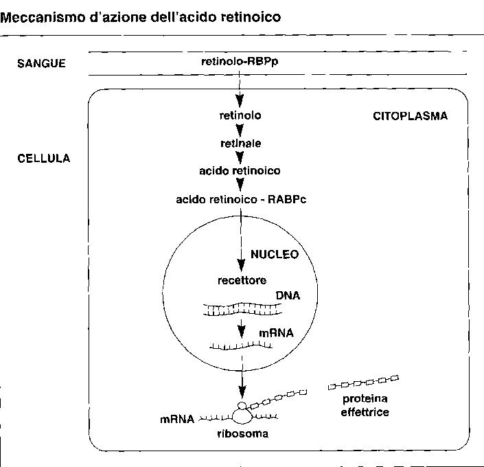 Meccanismo di azione dell'acido retinoico