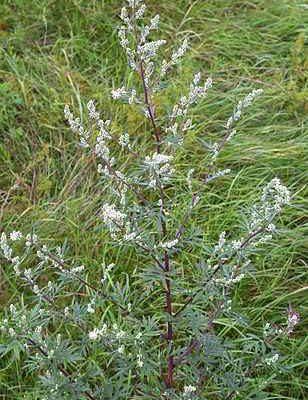 Artemisia: proprietà curative. A cosa serve? Come si usa?