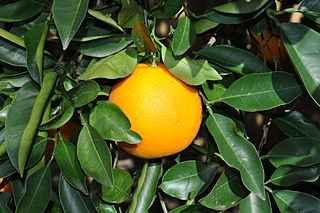 aranciodolce