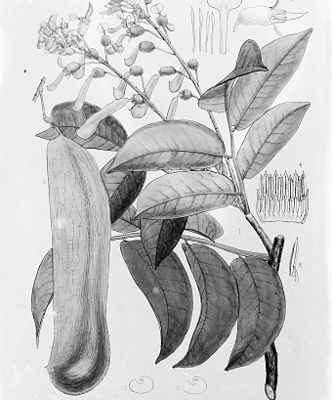 Balsamo del Tolù: proprietà curative. A cosa serve? Come si usa?