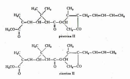 crisantemo Figura 2