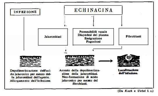 echinacea Figura 6