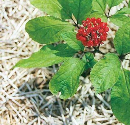 Ginseng: proprietà curative. A cosa serve? Come si usa?