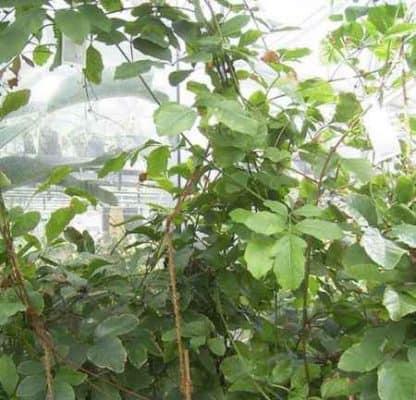 Guarana: proprietà curative. A cosa serve? Come si usa?