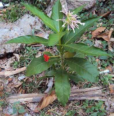Rauwolfia serpentina: proprietà curative. A cosa serve? Come si usa?
