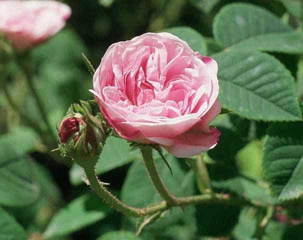 rosapallida