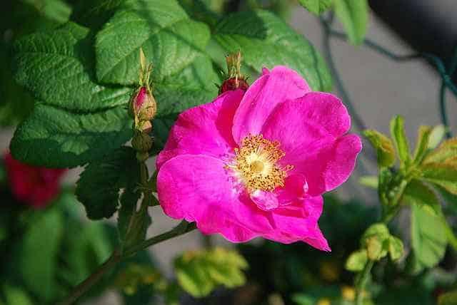 rosarossa