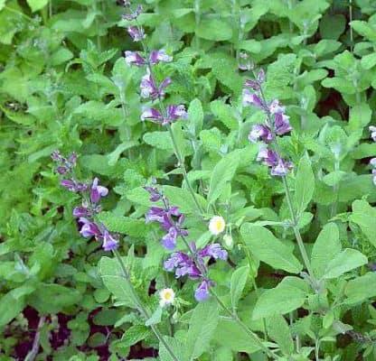 Salvia: proprietà curative. A cosa serve? Come si usa?