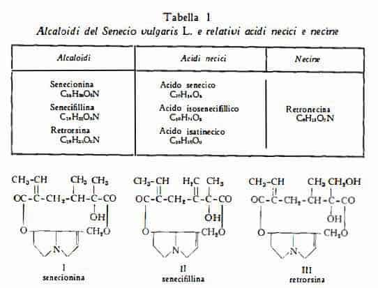 senecio Figura 1
