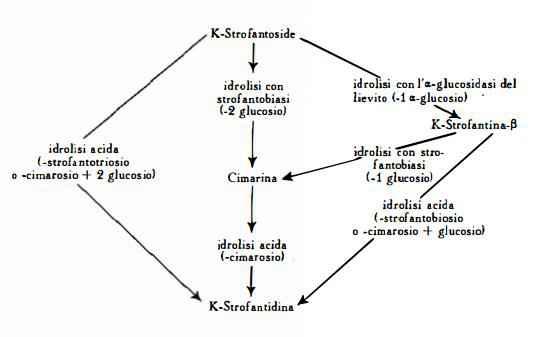 strofanto Figura 1