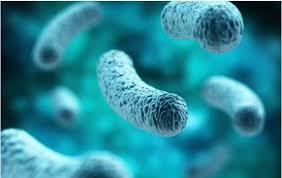 Legionella pneumophyla