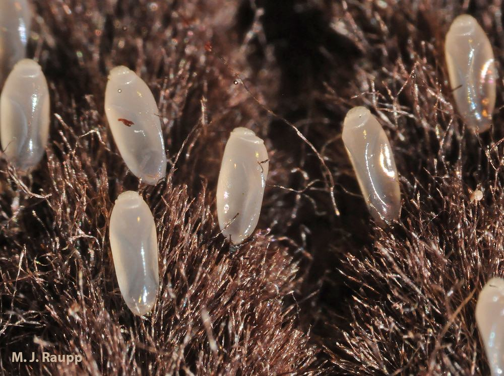 Pediculosi: uova di pidocchio del capo (o lendini)